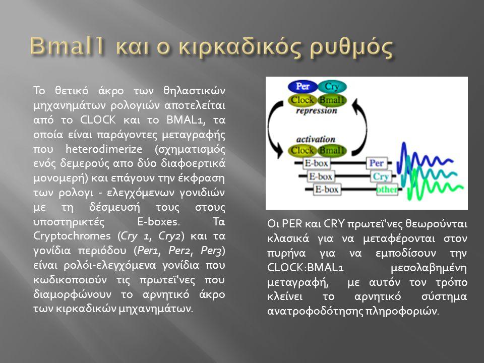 Το θετικό άκρο των θηλαστικών μηχανημάτων ρολογιών αποτελείται από το CLOCK και το BMAL1, τα οποία είναι παράγοντες μεταγραφής που heterodimerize (σχη