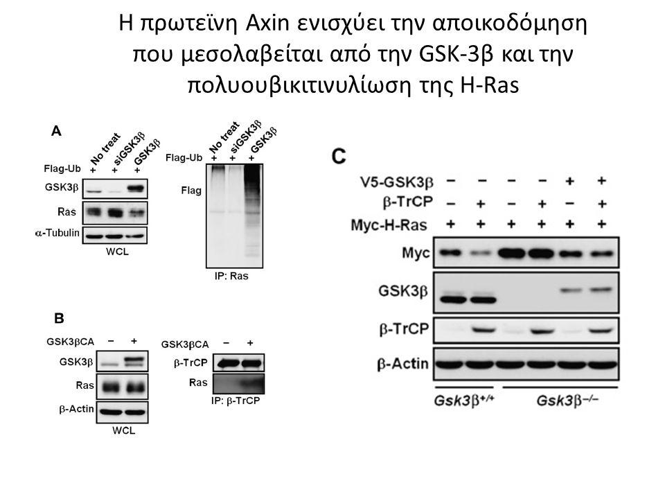 Η πρωτεϊνη Axin ενισχύει την αποικοδόμηση που μεσολαβείται από την GSK-3β και την πολυουβικιτινυλίωση της H-Ras