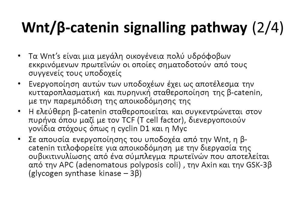 Wnt/β-catenin signalling pathway (2/4) Τα Wnt's είναι μια μεγάλη οικογένεια πολύ υδρόφοβων εκκρινόμενων πρωτεϊνών οι οποίες σηματοδοτούν από τους συγγενείς τους υποδοχείς Ενεργοποίηση αυτών των υποδοχέων έχει ως αποτέλεσμα την κυτταροπλασματική και πυρηνική σταθεροποίηση της β-catenin, με την παρεμπόδιση της αποικοδόμησης της Η ελεύθερη β-catenin σταθεροποιείται και συγκεντρώνεται στον πυρήνα όπου μαζί με τον ΤCF (T cell factor), διενεργοποιούν γονίδια στόχους όπως η cyclin D1 και η Myc Σε απουσία ενεργοποίησης του υποδοχέα από την Wnt, η β- catenin τιτλοφορείτε για αποικοδόμηση με την διεργασία της ουβικιτινυλίωσης από ένα σύμπλεγμα πρωτεϊνών που αποτελείται από την ΑPC (adenomatous polyposis coli), την Axin και την GSK-3β (glycogen synthase kinase – 3β)