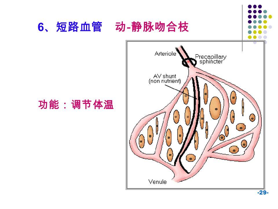 -29- 6 、短路血管 动 - 静脉吻合枝 功能:调节体温