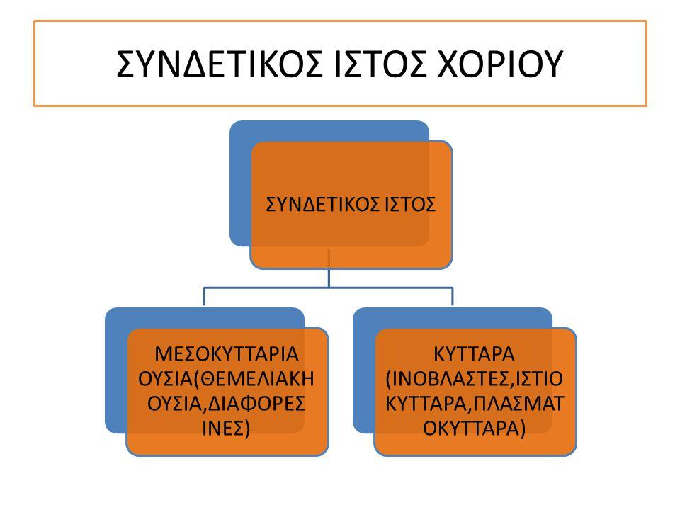 ΣΥΝΔΕΤΙΚΟΣ ΙΣΤΟΣ ΧΟΡΙΟΥ ΣΥΝΔΕΤΙΚΟΣ ΙΣΤΟΣ ΜΕΣΟΚΥΤΤΑΡΙΑ ΟΥΣΙΑ(ΘΕΜΕΛΙΑΚΗ ΟΥΣΙΑ,ΔΙΑΦΟΡΕΣ ΙΝΕΣ) ΚΥΤΤΑΡΑ (ΙΝΟΒΛΑΣΤΕΣ,ΙΣΤΙΟ ΚΥΤΤΑΡΑ,ΠΛΑΣΜΑΤ ΟΚΥΤΤΑΡΑ)