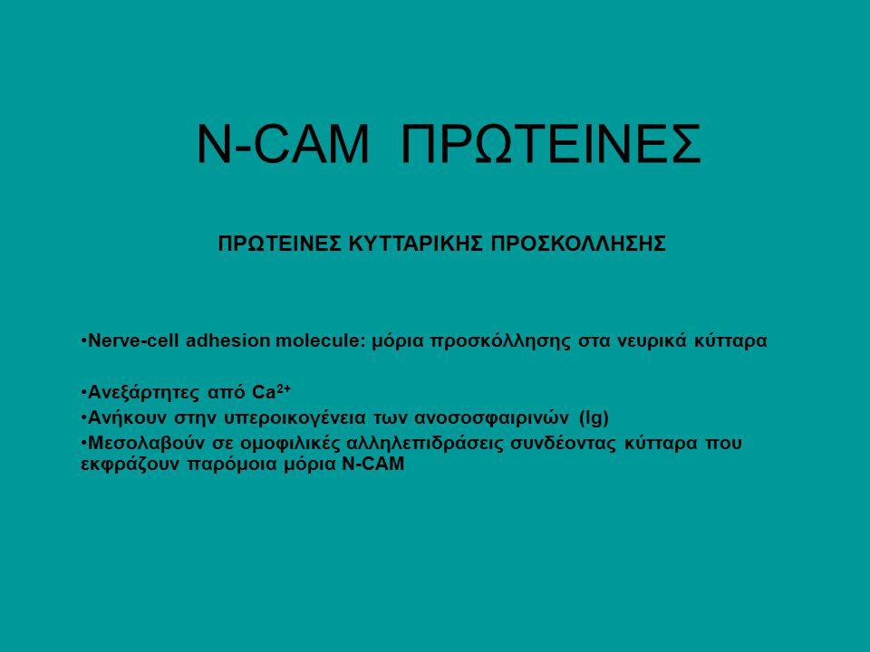 Ν-CAM ΠΡΩΤΕΙΝΕΣ Nerve-cell adhesion molecule: μόρια προσκόλλησης στα νευρικά κύτταρα Ανεξάρτητες από Ca 2+ Ανήκουν στην υπεροικογένεια των ανοσοσφαιρινών (Ig) Μεσολαβούν σε ομοφιλικές αλληλεπιδράσεις συνδέοντας κύτταρα που εκφράζουν παρόμοια μόρια N-CAM ΠΡΩΤΕΙΝΕΣ ΚΥΤΤΑΡΙΚΗΣ ΠΡΟΣΚΟΛΛΗΣΗΣ