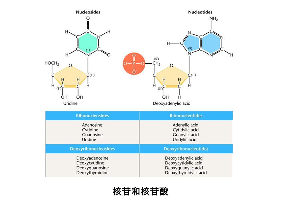 终止子的结构特征 发夹结构 polyU 序列 真正起终止作用的 不是 DNA 序列,而 是转录生成的 RNA 结构
