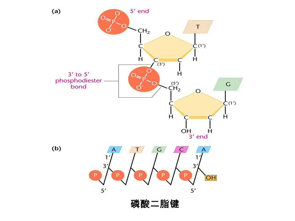 磷酸二脂键