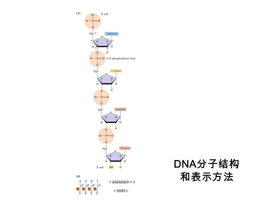 DNA 分子结构 和表示方法