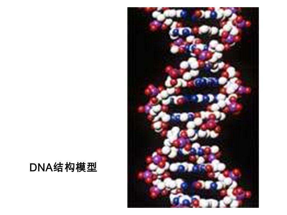 DNA 结构模型