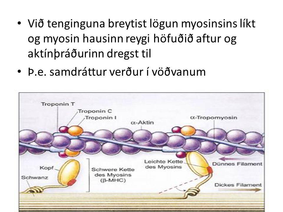 Við tenginguna breytist lögun myosinsins líkt og myosin hausinn reygi höfuðið aftur og aktínþráðurinn dregst til Þ.e.