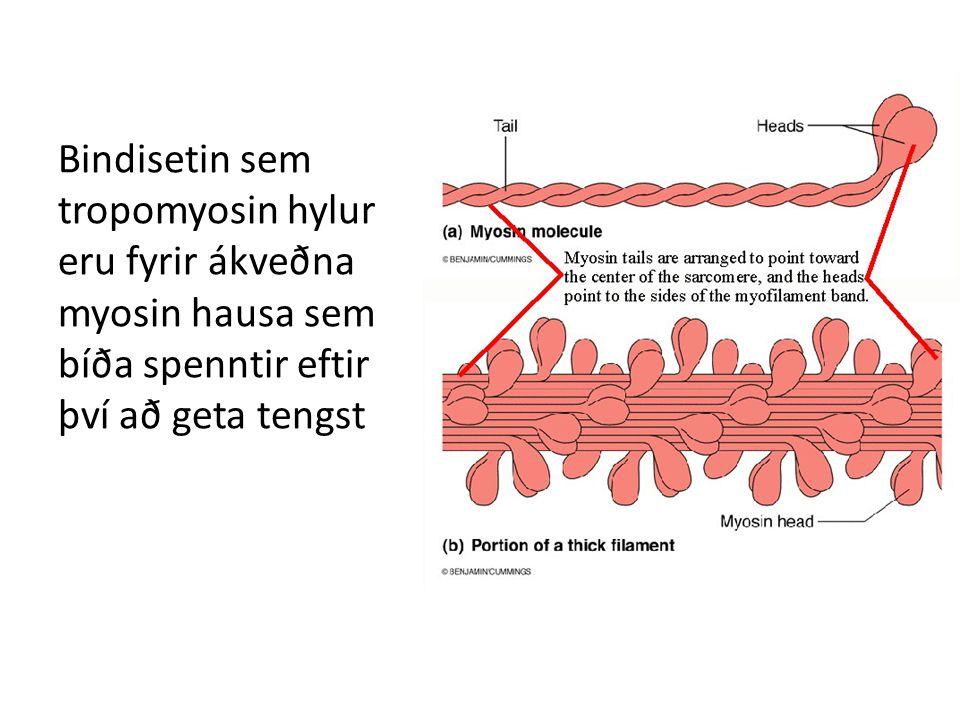 Falskt jákvætt TnT eða TnI Heterophilic antibodies = mótefni sem kross reagera, t.d.