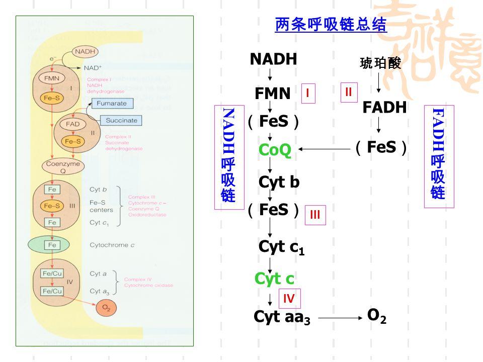 NADH FMN ( FeS ) CoQ Cyt b ( FeS ) Cyt c 1 Cyt c O2O2 FADH ( FeS ) Cyt aa 3 两条呼吸链总结 琥珀酸 I II III IV
