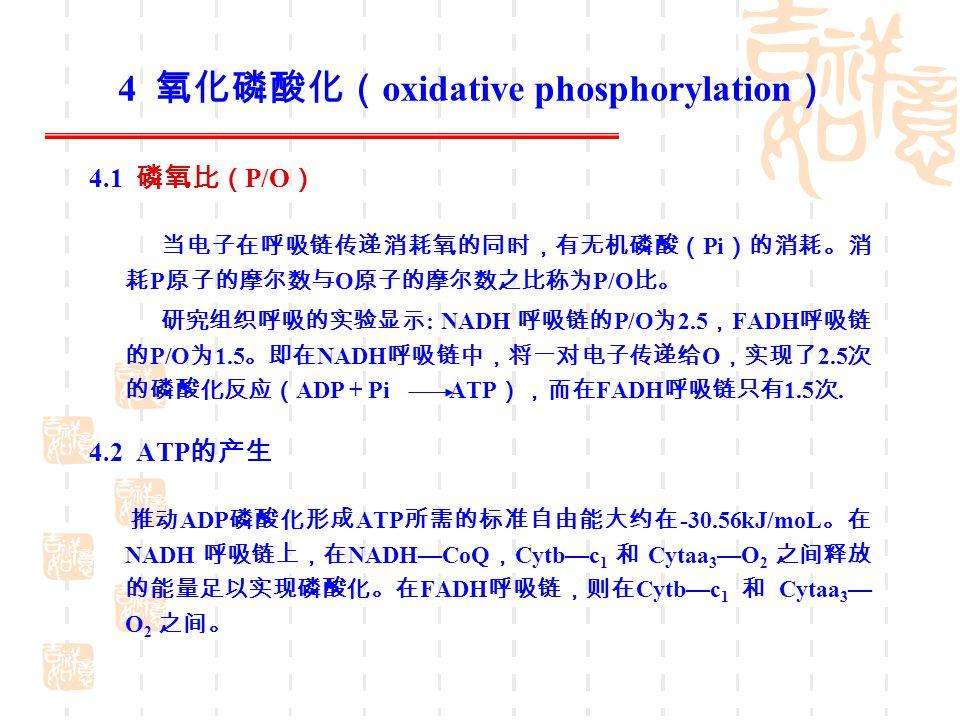 4 氧化磷酸化( oxidative phosphorylation ) 4.1 磷氧比( P/O ) 当电子在呼吸链传递消耗氧的同时,有无机磷酸( Pi )的消耗。消 耗 P 原子的摩尔数与 O 原子的摩尔数之比称为 P/O 比。 研究组织呼吸的实验显示 : NADH 呼吸链的 P/O 为 2.5