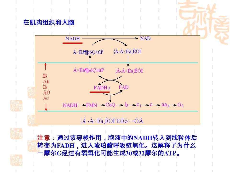 注意:通过该穿梭作用,胞液中的 NADH 转入到线粒体后 转变为 FADH ,进入琥珀酸呼吸链氧化。这解释了为什么 一摩尔 G 经过有氧氧化可能生成 30 或 32 摩尔的 ATP 。 在肌肉组织和大脑