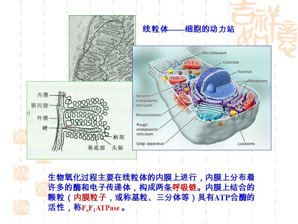 线粒体 —— 细胞的动力站 生物氧化过程主要在线粒体的内膜上进行,内膜上分布着 许多的酶和电子传递体,构成两条呼吸链。内膜上结合的 颗粒(内膜粒子,或称基粒、三分体等)具有 ATP 合酶的 活性,称 F o F 1 ATPase 。