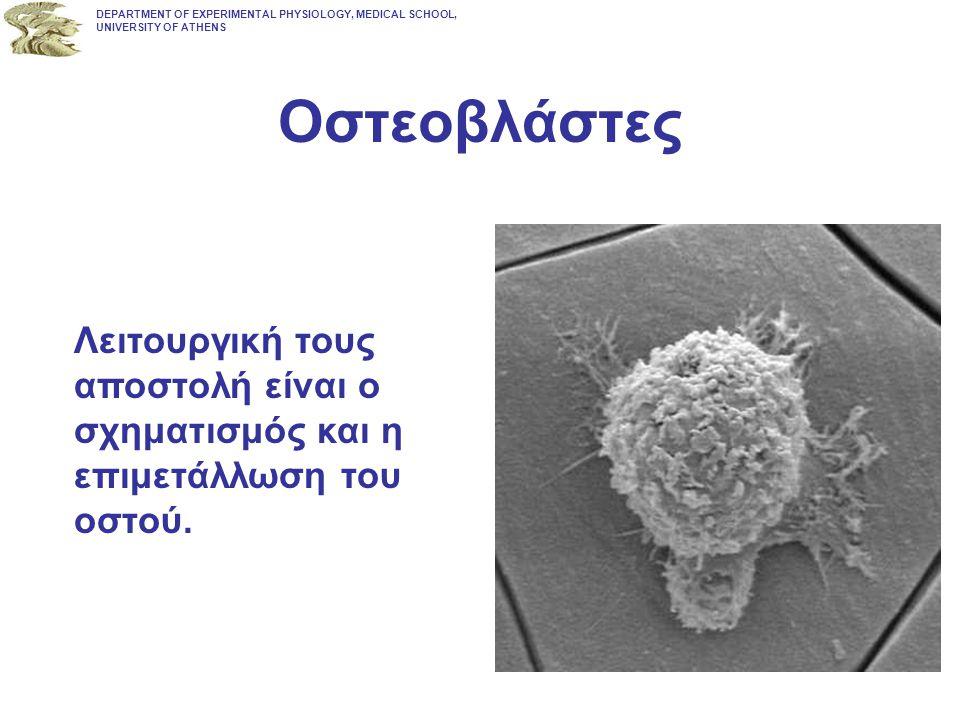 Οστεοβλάστες Λειτουργική τους αποστολή είναι ο σχηματισμός και η επιμετάλλωση του οστού. DEPARTMENT OF EXPERIMENTAL PHYSIOLOGY, MEDICAL SCHOOL, UNIVER