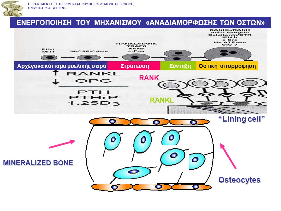 """Lining cell"" ""Lining cell"" MINERALIZED BONE Osteocytes DEPARTMENT OF EXPERIMENTAL PHYSIOLOGY, MEDICAL SCHOOL, UNIVERSITY OF ATHENS Αρχέγονα κύτταρα μ"