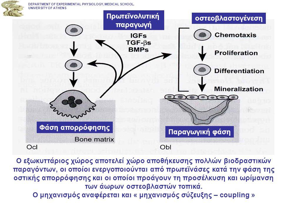 DEPARTMENT OF EXPERIMENTAL PHYSIOLOGY, MEDICAL SCHOOL, UNIVERSITY OF ATHENS Φάση απορρόφησης Πρωτεϊνολυτική παραγωγή οστεοβλαστογένεση Παραγωγική φάση