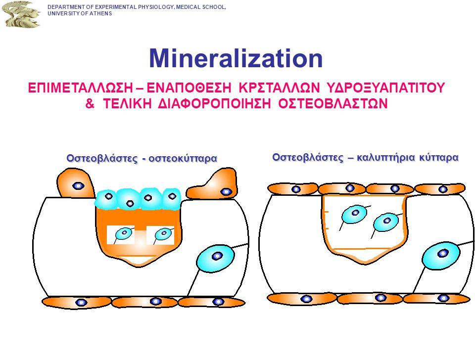Mineralization Οστεοβλάστες - οστεοκύτταρα DEPARTMENT OF EXPERIMENTAL PHYSIOLOGY, MEDICAL SCHOOL, UNIVERSITY OF ATHENS ΕΠΙΜΕΤΑΛΛΩΣΗ – ΕΝΑΠΟΘΕΣΗ ΚΡΣΤΑΛ