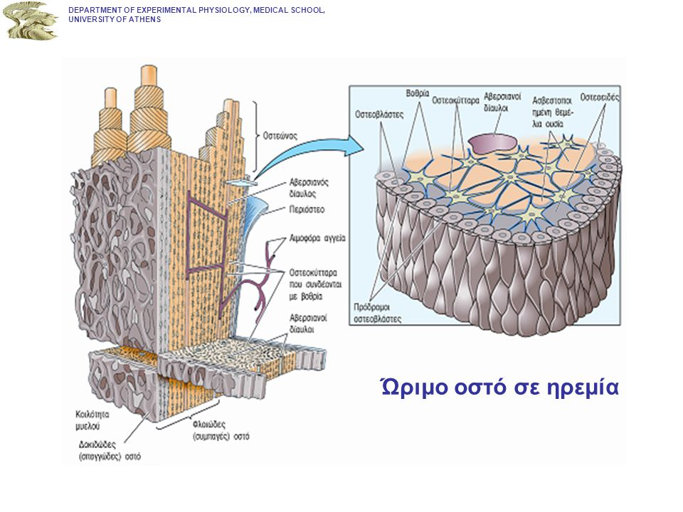 Quiescence Lining cell Lining cell MINERALIZED BONE Osteocytes DEPARTMENT OF EXPERIMENTAL PHYSIOLOGY, MEDICAL SCHOOL, UNIVERSITY OF ATHENS ΦΑΣΗ ΤΗΣ ΗΡΕΜΙΑΣ Καλυπτήρια κύτταρα – οστεοβλάστες τελικής διαφοροποίησης Επιμεταλλωμένο οστό Οστεοκύτταρα - οστεοβλάστες τελικής διαφοροποίησης