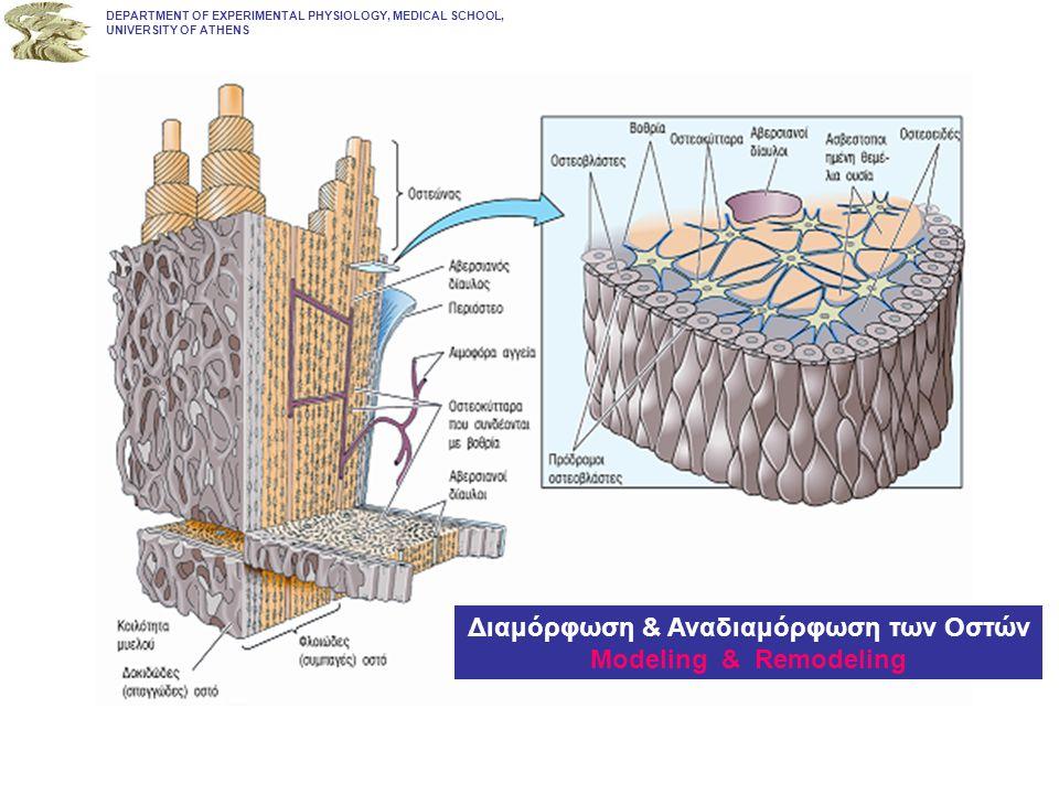 DEPARTMENT OF EXPERIMENTAL PHYSIOLOGY, MEDICAL SCHOOL, UNIVERSITY OF ATHENS Διαμόρφωση & Αναδιαμόρφωση των Οστών Modeling & Remodeling