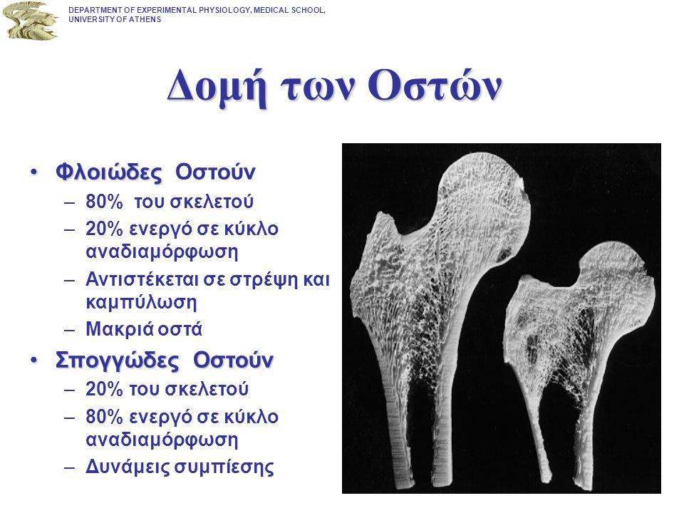 ΦλοιώδεςΦλοιώδες Οστούν –80% του σκελετού –20% ενεργό σε κύκλο αναδιαμόρφωση –Αντιστέκεται σε στρέψη και καμπύλωση –Μακριά οστά Σπογγώδες ΟστούνΣπογγώ