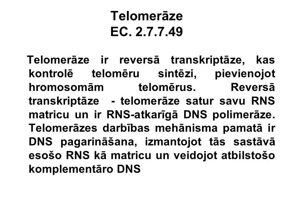 Telomerāze EC. 2.7.7.49 Telomerāze ir reversā transkriptāze, kas kontrolē telomēru sintēzi, pievienojot hromosomām telomērus. Reversā transkriptāze -