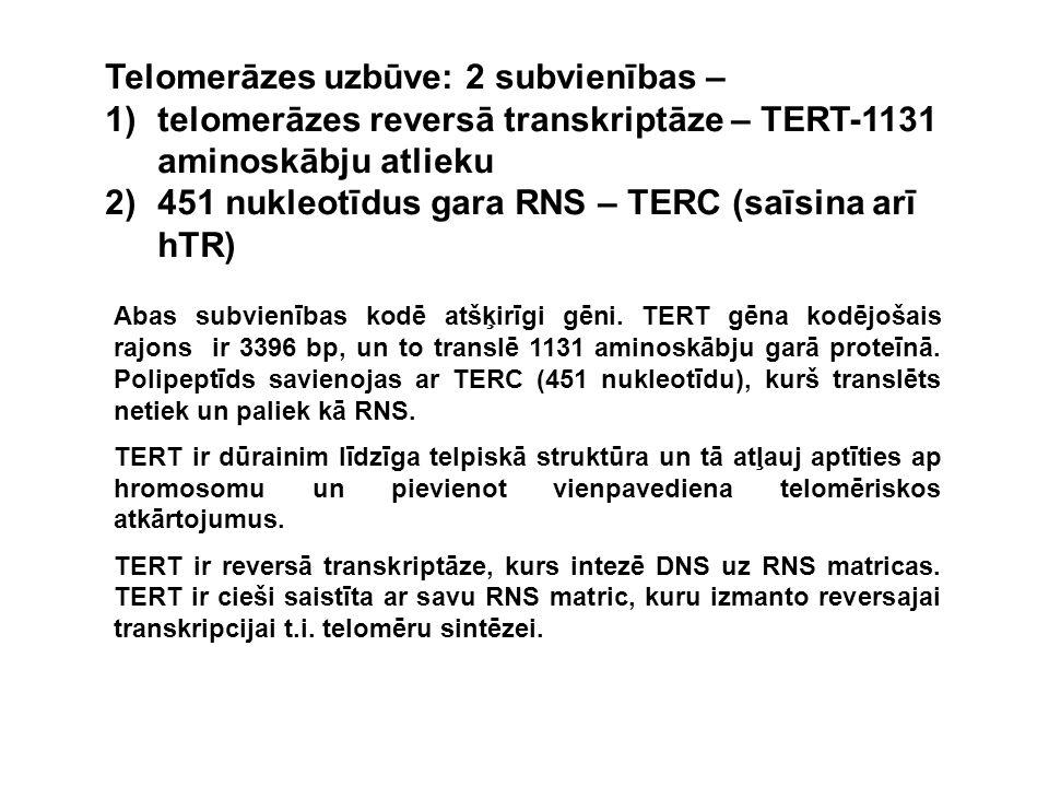 Abas subvienības kodē atšķirīgi gēni. TERT gēna kodējošais rajons ir 3396 bp, un to translē 1131 aminoskābju garā proteīnā. Polipeptīds savienojas ar