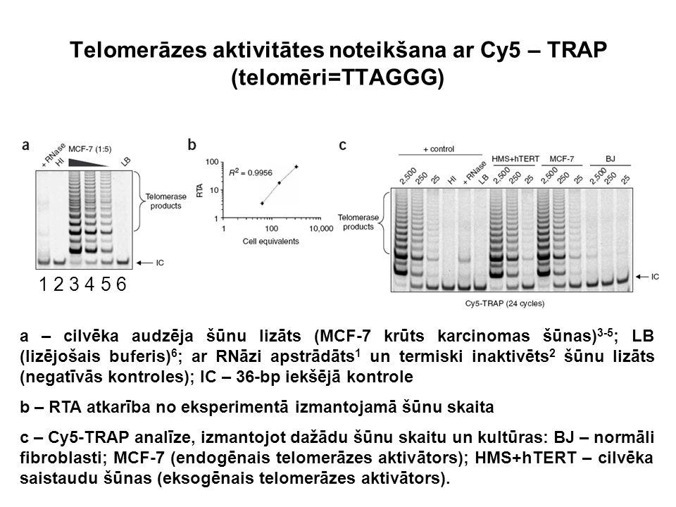 Telomerāzes aktivitātes noteikšana ar Cy5 – TRAP (telomēri=TTAGGG) a – cilvēka audzēja šūnu lizāts (MCF-7 krūts karcinomas šūnas) 3-5 ; LB (lizējošais