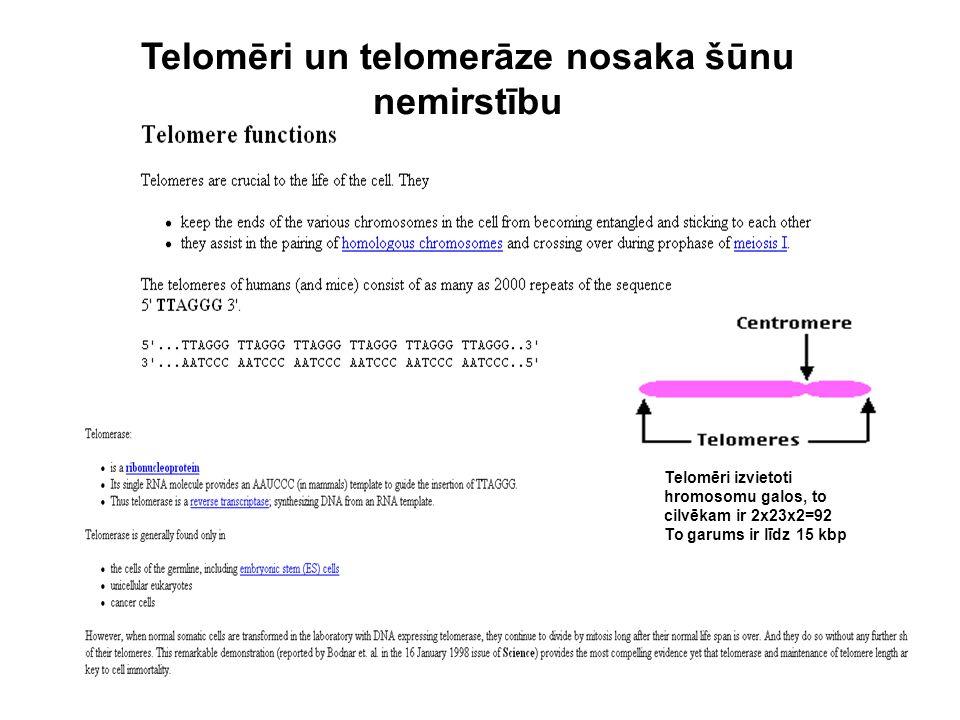 Telomēri un telomerāze nosaka šūnu nemirstību Telomēri izvietoti hromosomu galos, to cilvēkam ir 2x23x2=92 To garums ir līdz 15 kbp