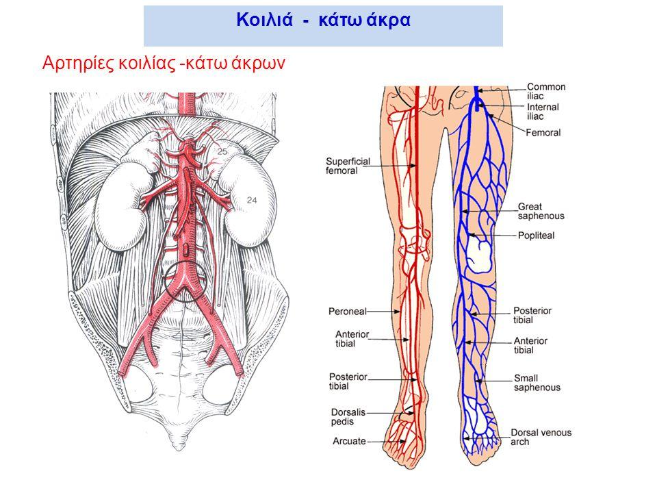 Αρτηρίες κοιλίας -κάτω άκρων Κοιλιά - κάτω άκρα