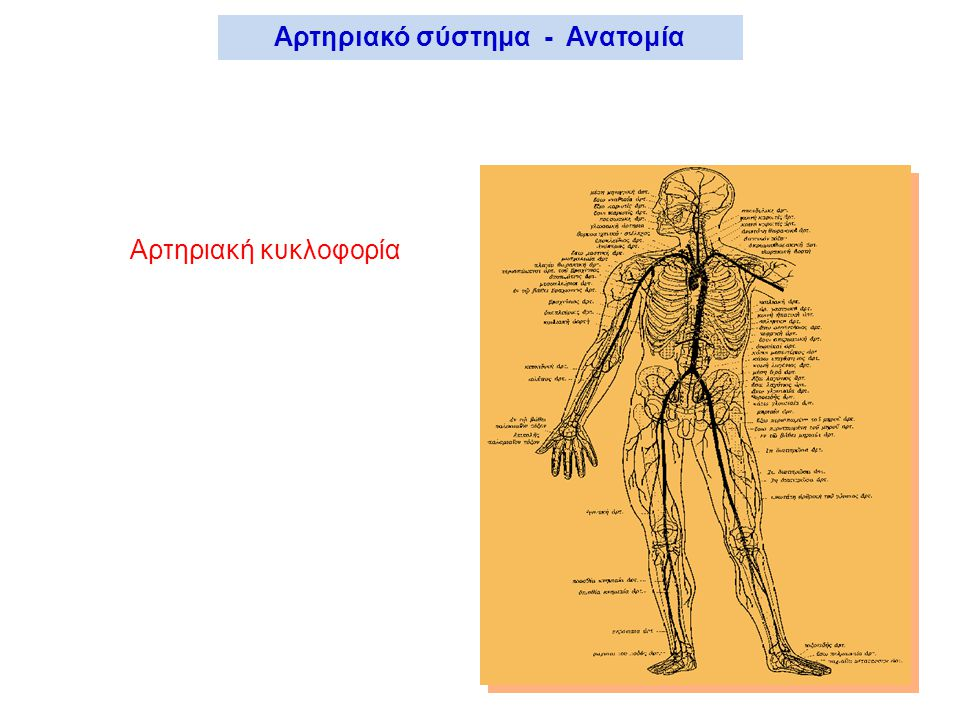 Αρτηριακή κυκλοφορία Αρτηριακό σύστημα - Ανατομία