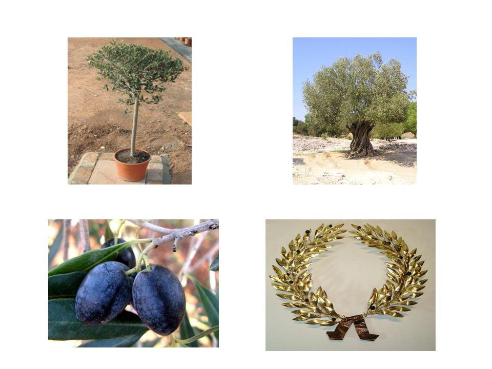 Η ιστορία της ελιάς Ελιά.Σύμβολο ειρήνης, σοφίας, γονιμότητας, ευημερίας, ευφορίας, τύχης, νίκης.