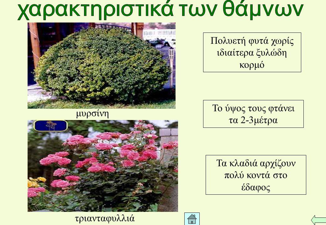 Ξυλώδης κορμός με διάμετρο μέχρι και 10-12 μέτρα Τα κλαδιά αναπτύσσονται από ένα ύψος του κορμού Πολυετή φυτά (ορισμένα από αυτά αιωνόβια) με ύψος που κυμαίνεται από 2-120μέτρα πλάτανος φλαμουριά