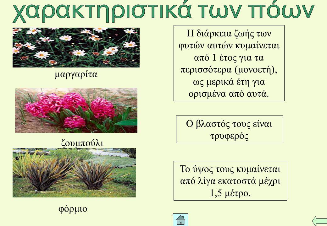 Τα κλαδιά αρχίζουν πολύ κοντά στο έδαφος Το ύψος τους φτάνει τα 2-3μέτρα Πολυετή φυτά χωρίς ιδιαίτερα ξυλώδη κορμό τριανταφυλλιά μυρσίνη