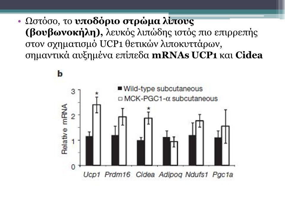 Ωστόσο, το υποδόριο στρώμα λίπους (βουβωνοκήλη), λευκός λιπώδης ιστός πιο επιρρεπής στον σχηματισμό UCP1 θετικών λιποκυττάρων, σημαντικά αυξημένα επίπεδα mRNAs UCP1 και Cidea