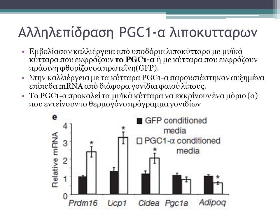 Αλληλεπίδραση PGC1-α λιποκυτταρων Εμβολίασαν καλλιέργεια από υποδόρια λιποκύτταρα με μυϊκά κύτταρα που εκφράζουν το PGC1-α ή με κύτταρα που εκφράζουν πράσινη φθορίζουσα πρωτεΐνη(GFP).