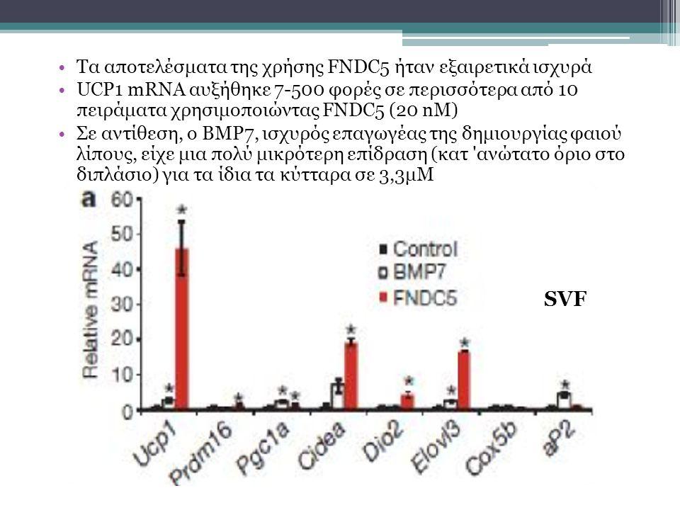 Τα αποτελέσματα της χρήσης FNDC5 ήταν εξαιρετικά ισχυρά UCP1 mRNA αυξήθηκε 7-500 φορές σε περισσότερα από 10 πειράματα χρησιμοποιώντας FNDC5 (20 nM) Σε αντίθεση, o BMP7, ισχυρός επαγωγέας της δημιουργίας φαιού λίπους, είχε μια πολύ μικρότερη επίδραση (κατ ανώτατο όριο στο διπλάσιο) για τα ίδια τα κύτταρα σε 3,3μΜ SVF