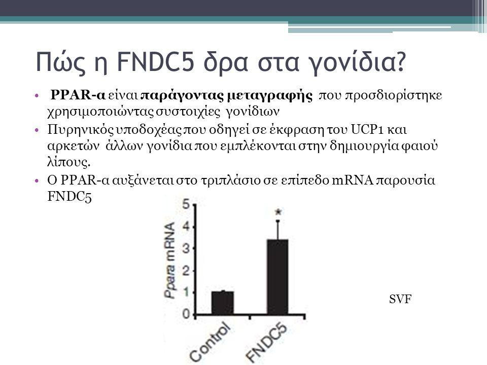 Πώς η FNDC5 δρα στα γονίδια.