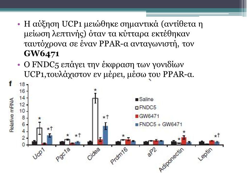 Η αύξηση UCP1 μειώθηκε σημαντικά (αντίθετα η μείωση λεπτινής) όταν τα κύτταρα εκτέθηκαν ταυτόχρονα σε έναν PPAR-α ανταγωνιστή, τον GW6471 Ο FNDC5 επάγει την έκφραση των γονιδίων UCP1,τουλάχιστον εν μέρει, μέσω του PPAR-α.