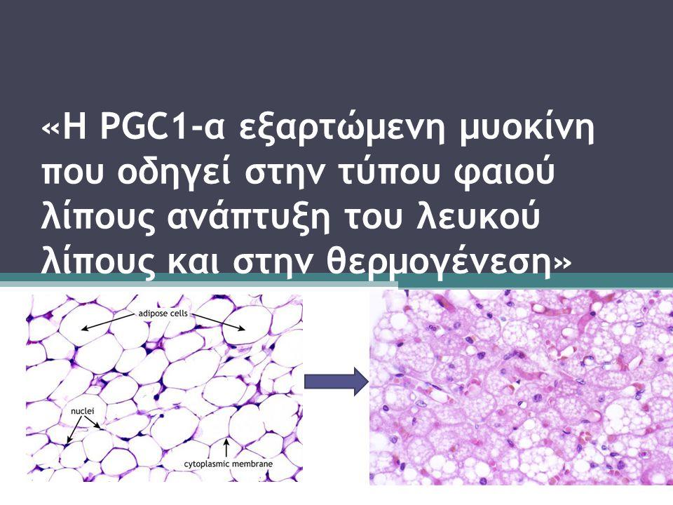 PGC1-α  Μεσολαβεί σε πολλά βιολογικά προγράμματα  PGC1-α παράγεται στους μυες με την άσκηση και : Διεγείρει την αγγειογένεση και τον ερεθισμό των μυϊκών ινών Παρέχει αντοχή σε μυϊκή δυστροφία  Συνενεργοποιητής του PPAR-γ, μιας διαμεσολαβητικής πρωτεΐνης που αυξάνει : Την έκφραση της UCP1(uncoupling protein) και την θερμογένεση στον φαιό λιπώδη ιστό Την βιογένεση των μιτοχονδρίων και τον μεταβολισμό σε πολλούς τύπους κυττάρων.
