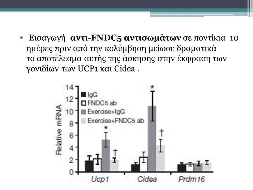 Εισαγωγή αντι-FNDC5 αντισωμάτων σε ποντίκια 10 ημέρες πριν από την κολύμβηση μείωσε δραματικά το αποτέλεσμα αυτής της άσκησης στην έκφραση των γονιδίων των UCP1 και Cidea.