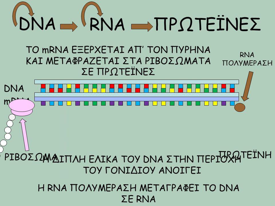DNA RNAΠΡΩΤΕΪΝΕΣ DNA Η ΔΙΠΛΗ ΕΛΙΚΑ ΤΟΥ DNA ΣΤΗΝ ΠΕΡΙΟΧΗ ΤΟΥ ΓΟΝΙΔΙΟΥ ΑΝΟΙΓΕΙ Η RNA ΠΟΛΥΜΕΡΑΣΗ ΜΕΤΑΓΡΑΦΕΙ ΤΟ DNA ΣΕ RNA RNA ΠΟΛΥΜΕΡΑΣΗ mRNA ΤΟ mRNA ΕΞΕ