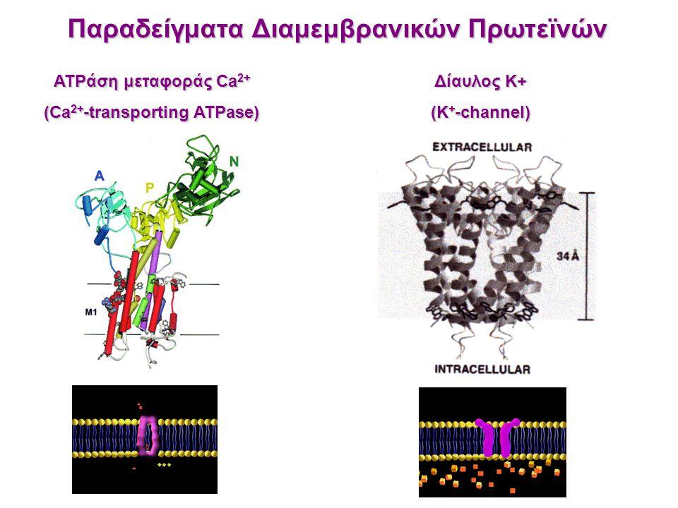 ATPάση μεταφοράς Ca 2+ (Ca 2+ -transporting ATPase) Δίαυλος K+ (K + -channel) Παραδείγματα Διαμεμβρανικών Πρωτεϊνών