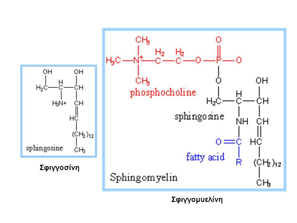 Το απλούστερο γλυκολιπίδιο είναι το κερεβροσίδιο (cerebroside), που περιέχει ένα κατάλοιπο σακχάρου (γαλακτόζης).