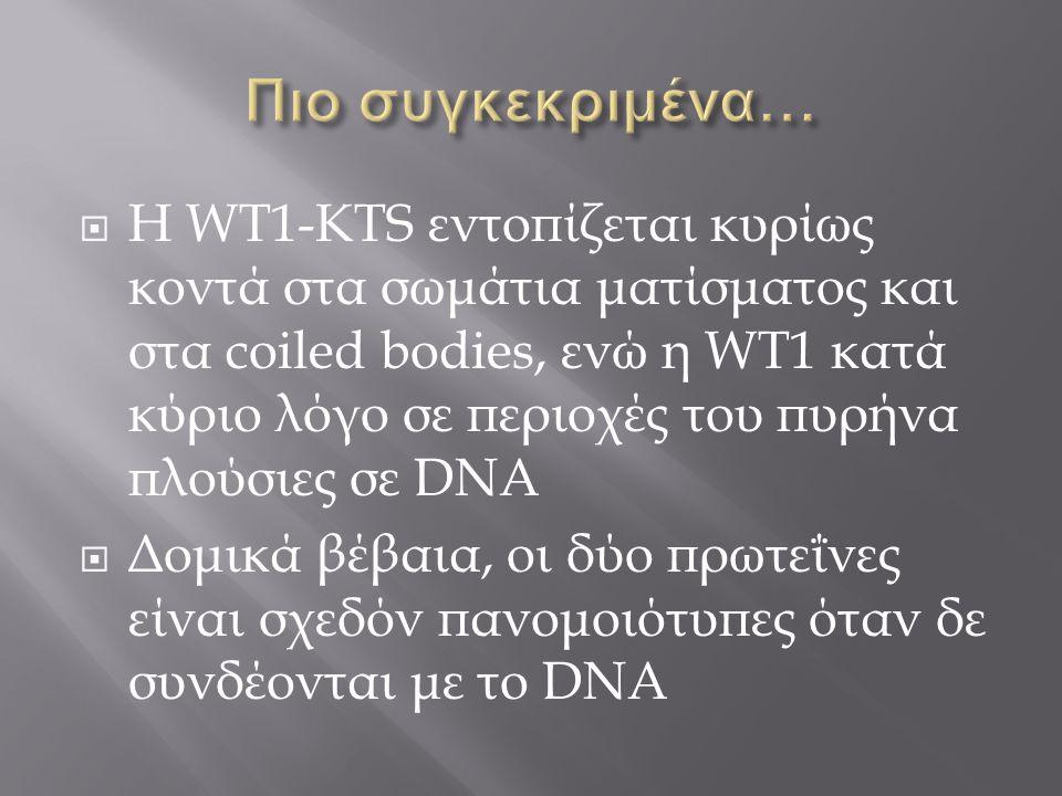  Η WT1-KTS εντοπίζεται κυρίως κοντά στα σωμάτια ματίσματος και στα coiled bodies, ενώ η WT1 κατά κύριο λόγο σε περιοχές του πυρήνα πλούσιες σε DNA 