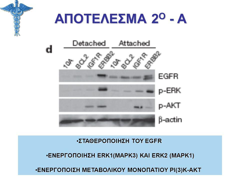 ΑΠΟΤΕΛΕΣΜΑ 2 Ο - Α ΣΤΑΘΕΡΟΠΟΙΗΣΗ ΤΟΥ EGFRΣΤΑΘΕΡΟΠΟΙΗΣΗ ΤΟΥ EGFR ΕΝΕΡΓΟΠΟΙΗΣΗ ERK1(MAPK3) ΚΑΙ ERK2 (MAPK1)ΕΝΕΡΓΟΠΟΙΗΣΗ ERK1(MAPK3) ΚΑΙ ERK2 (MAPK1) ΕΝΕ