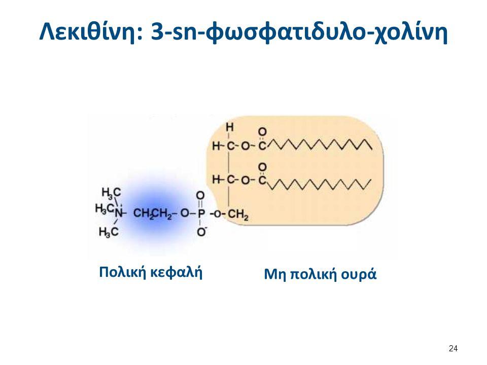 Λεκιθίνη: 3-sn-φωσφατιδυλο-χολίνη Πολική κεφαλή Μη πολική ουρά 24