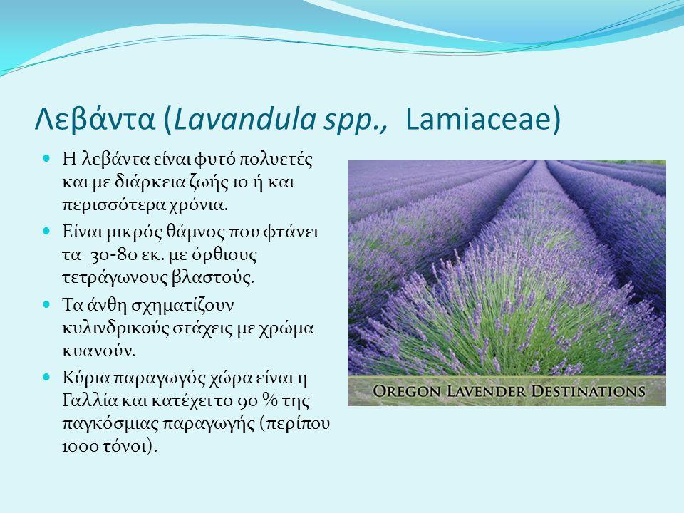 Λεβάντα (Lavandula spp., Lamiaceae) Η λεβάντα είναι φυτό πολυετές και με διάρκεια ζωής 10 ή και περισσότερα χρόνια.