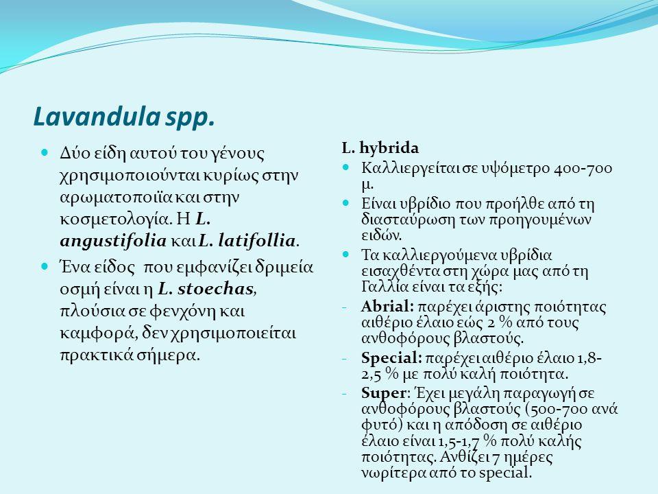Lavandula spp.