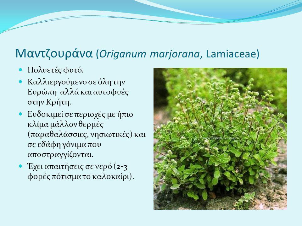Μαντζουράνα (Origanum marjorana, Lamiaceae) Πολυετές φυτό.