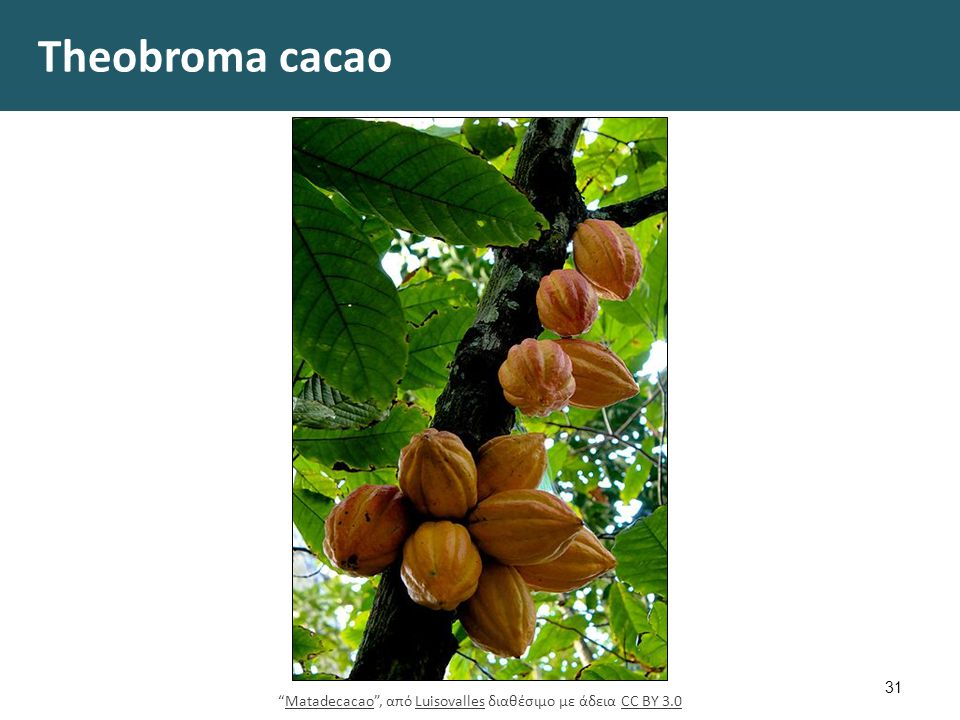 "Theobroma cacao 31 ""Matadecacao"", από Luisovalles διαθέσιμο με άδεια CC BY 3.0MatadecacaoLuisovallesCC BY 3.0"