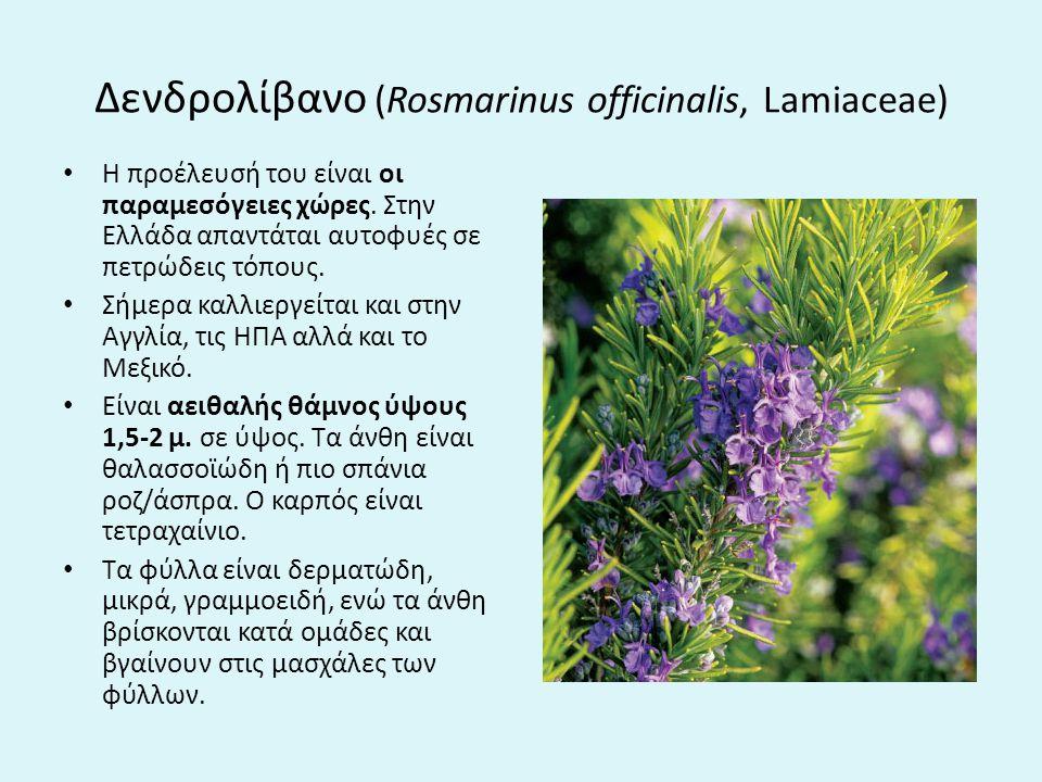 Δενδρολίβανο (Rosmarinus officinalis, Lamiaceae) H προέλευσή του είναι οι παραμεσόγειες χώρες.